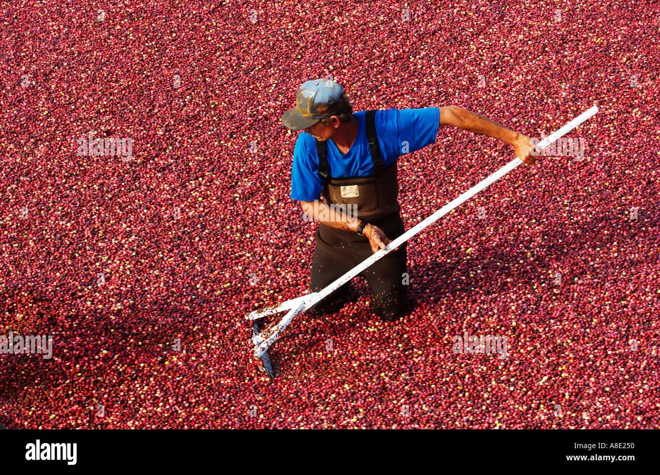Cranberry Ernte Stockbild