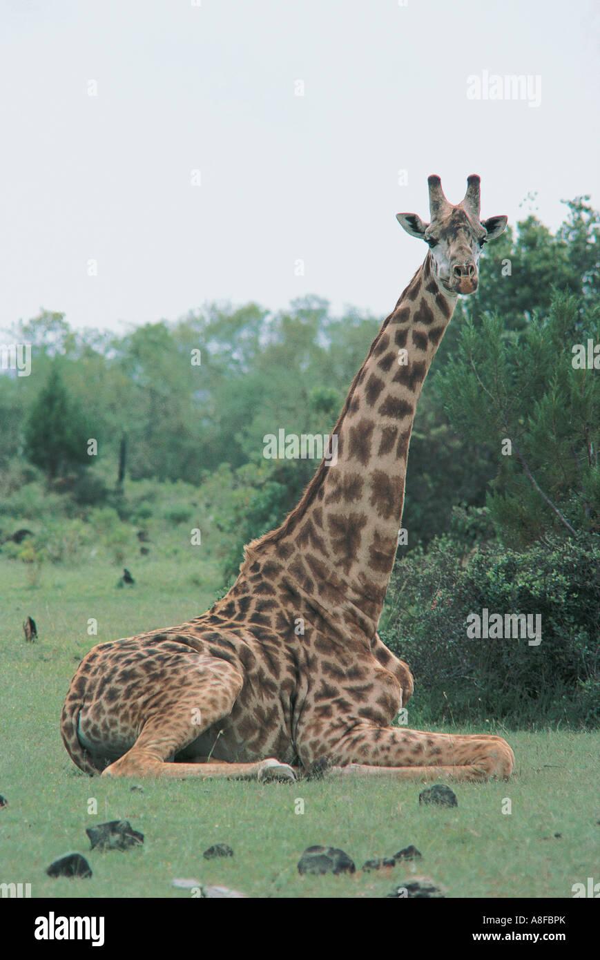 Masai oder gemeinsame Giraffe sitzen um sich auszuruhen und kauen Wiederkäuen Arusha Nationalpark Tansania Stockbild