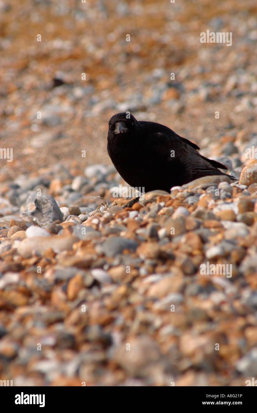 Crow am Strand auf Nahrungssuche Stockbild