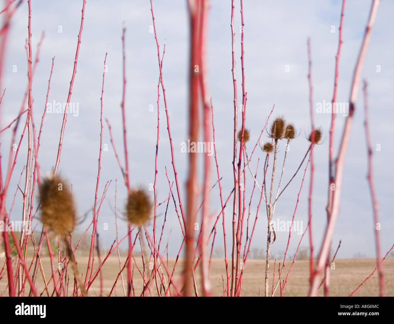 ein Blick durch rötliche Zweige mit Disteln auf unscharfen Bereichen Stockbild