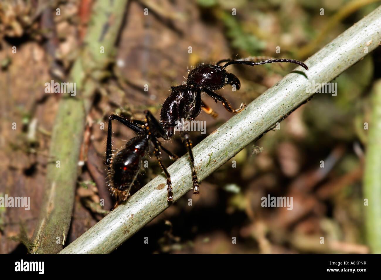 Bullet Ant, Paraponeragroße Clavata, Costa Rica Stockbild