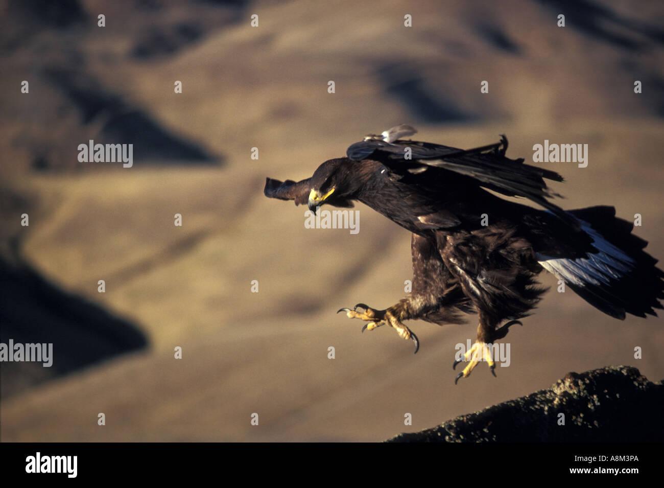 Steinadler Bereit Zur Landung Im Bereich Birds Of Prey In Der Nähe