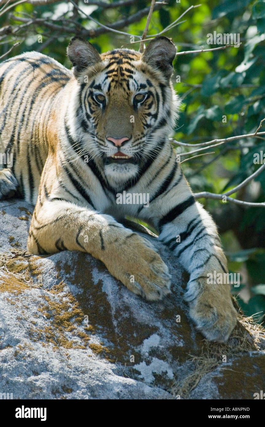 TIGER (Panthera Tigris) Bandhavgarh National Park Indien Stockbild