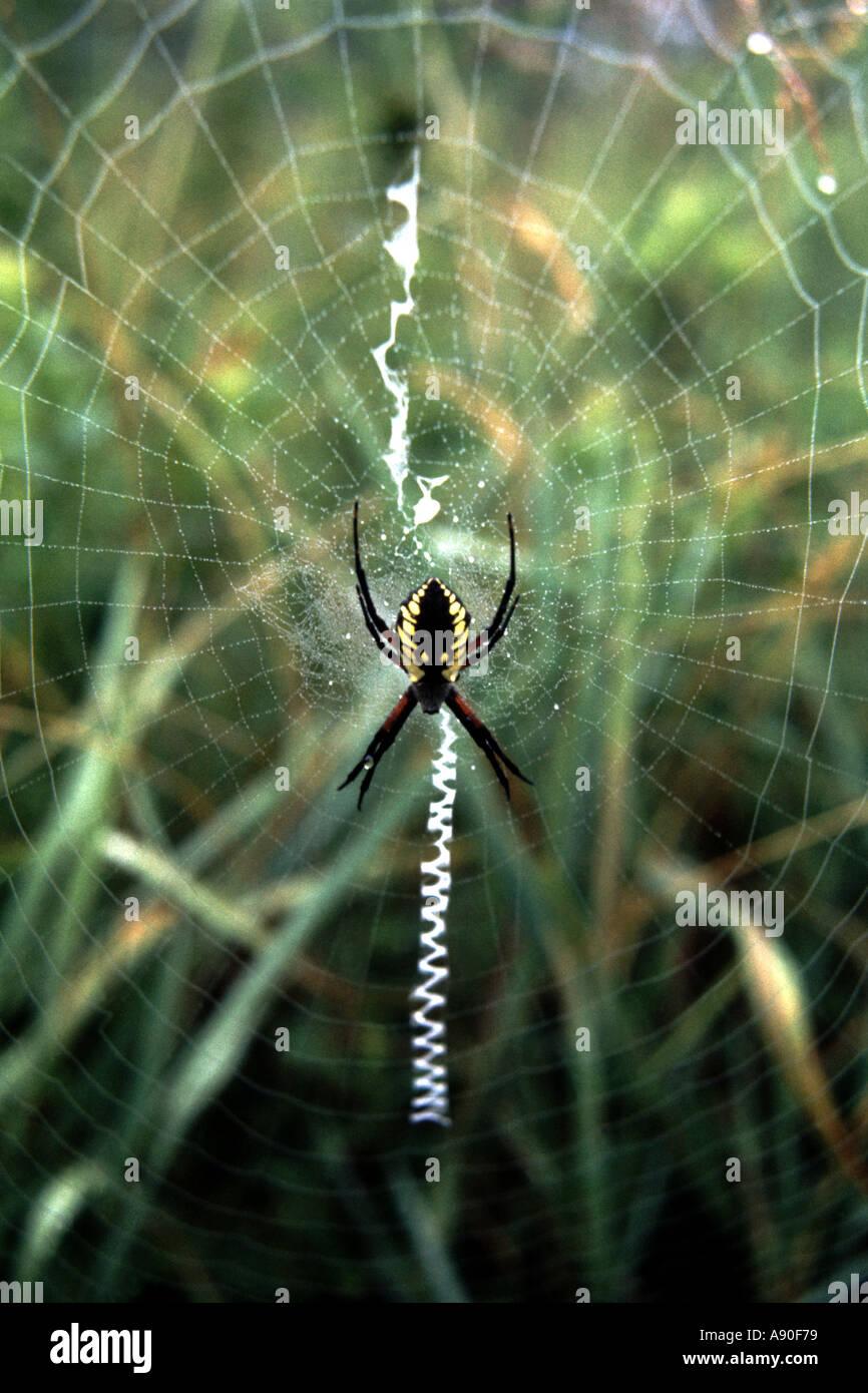 Weibliche Orange Garden Spider Argiope Aurantia hängen im Web mit ...