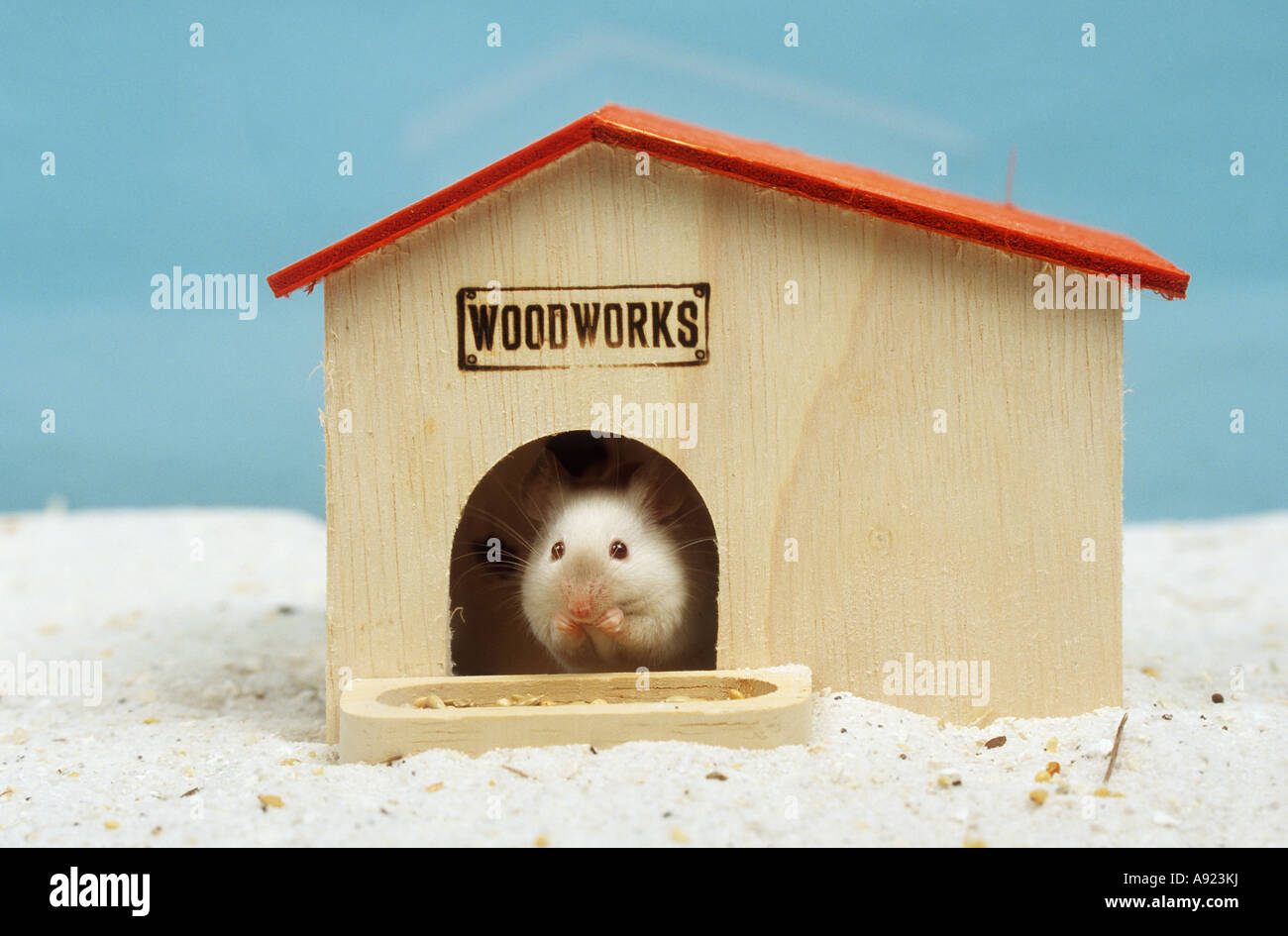 fancy mouse mus musculus stockfotos fancy mouse mus musculus bilder alamy. Black Bedroom Furniture Sets. Home Design Ideas