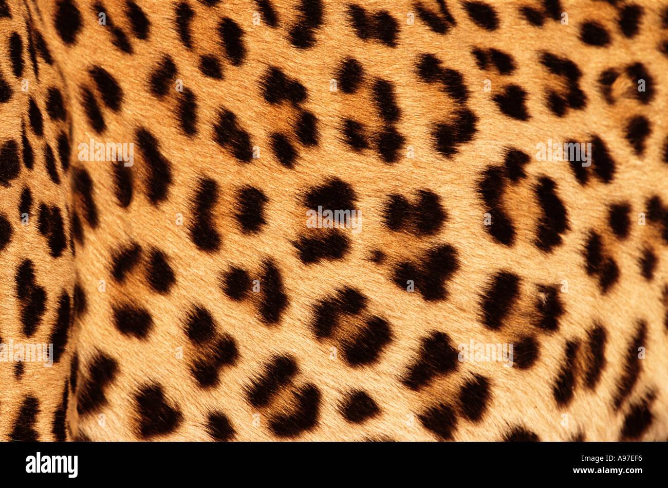 Leopardenfell Stockfoto