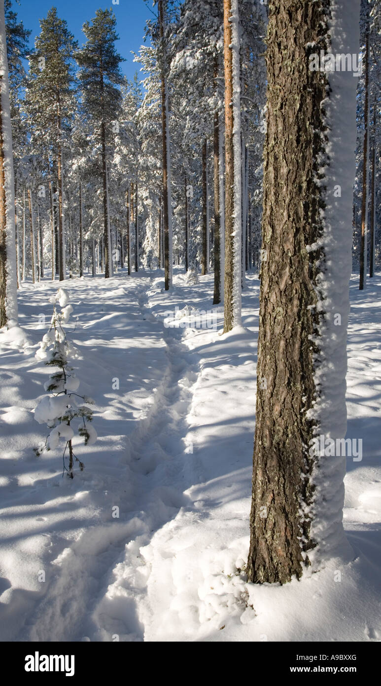 Menschliche Spuren und Fußweg auf neue frische Schnee in einem finnischen (Pinus Sylvestris) Kiefernwald, Finnland Stockbild