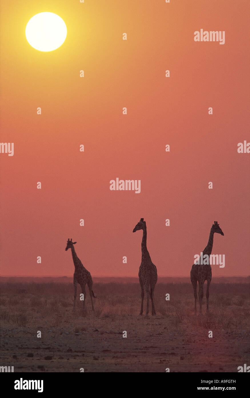Gemeinsamen Giraffe Etosha Nationalpark Namibia Stockbild