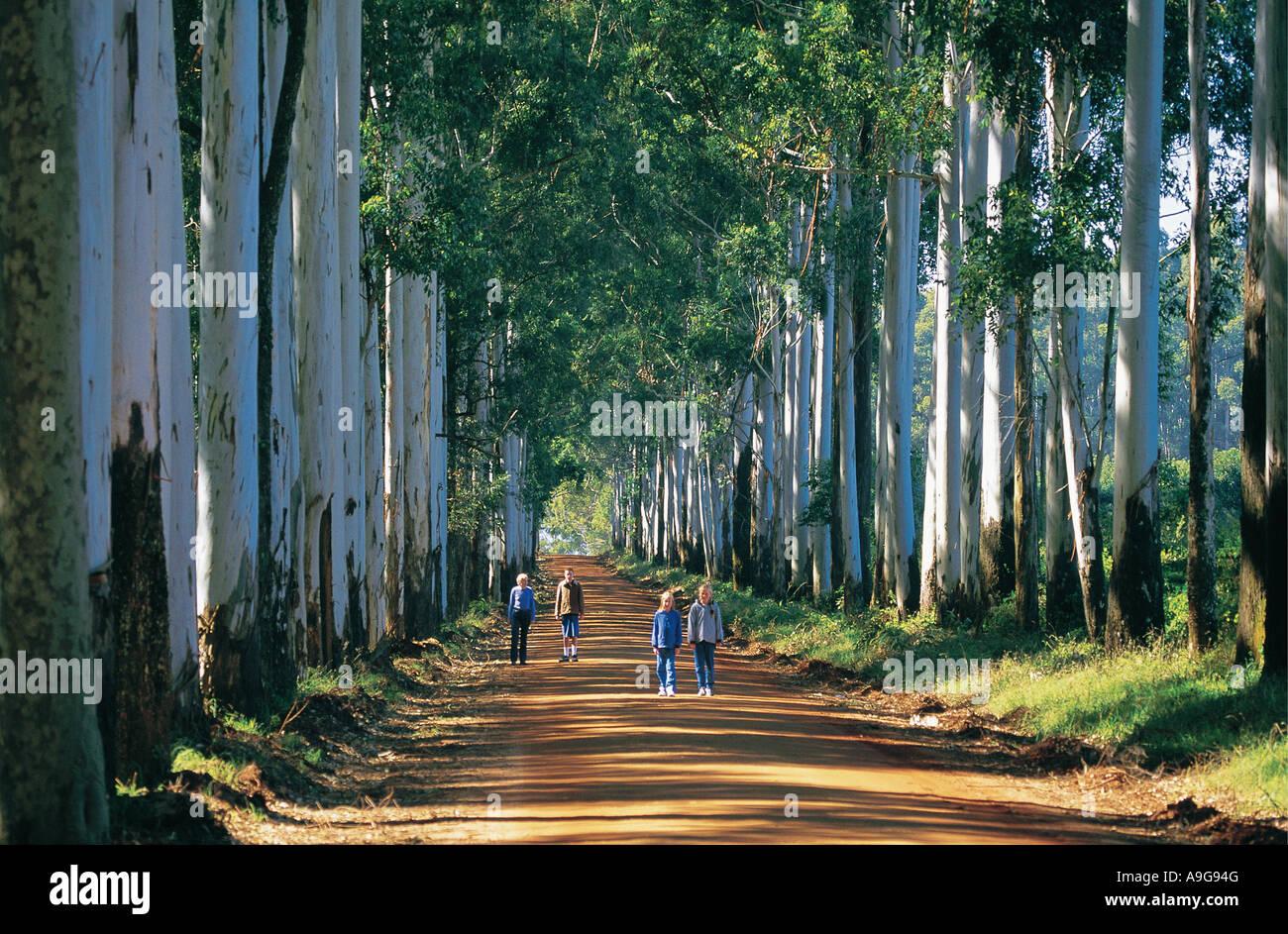Weiße Menschen, die einen Spaziergang durch eine Allee Blue Gum Bäumen Nordprovinz Südafrikas Stockbild