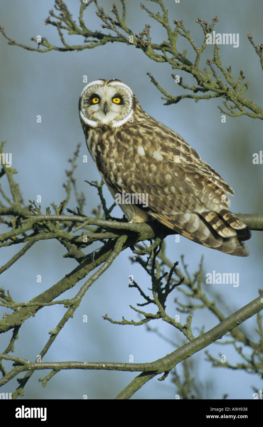 Short-eared Eule Asio Flammeus Perched auf AST Norfolk Februar Stockfoto