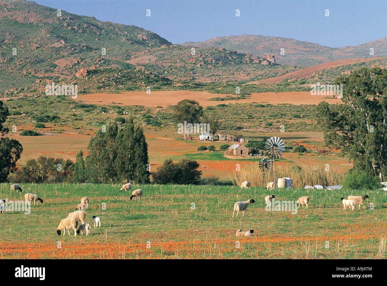 Schafe und einen kleinen Bauernhof mit einem Wind angetriebene Wasserpumpe in einer hübschen Landschaft Namaqualand Stockbild