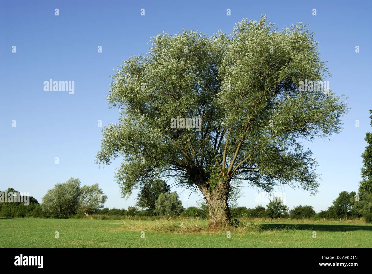 Gemeinsamen Korbweide Salix Viminalis Beschnitten Weide Alten
