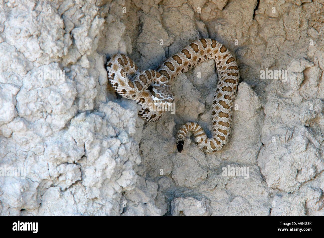 westlichen pygmy Rattlesnake, Fantasy Canyon, utah Stockfoto