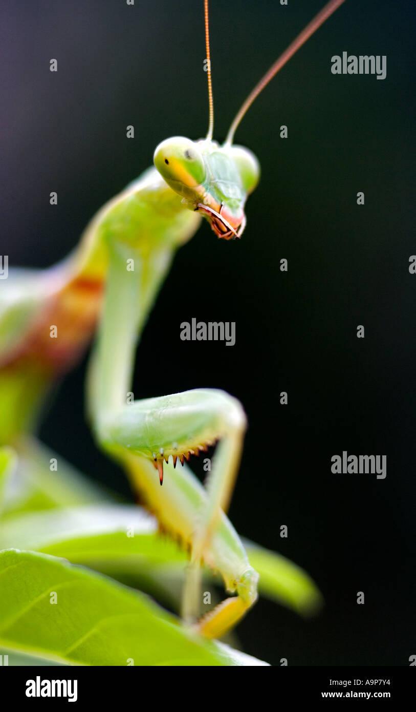 Gottesanbeterin auf Pflanze vor einem dunklen Hintergrund Stockbild