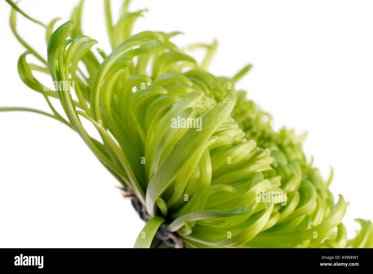 grünes Kleeblatt Chrysantheme Stockfoto