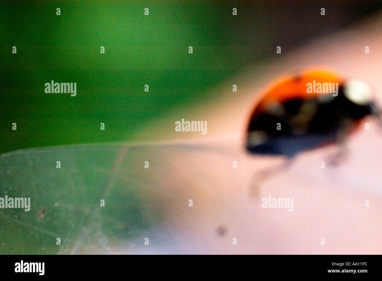 Ein Marienkäfer Stockbild