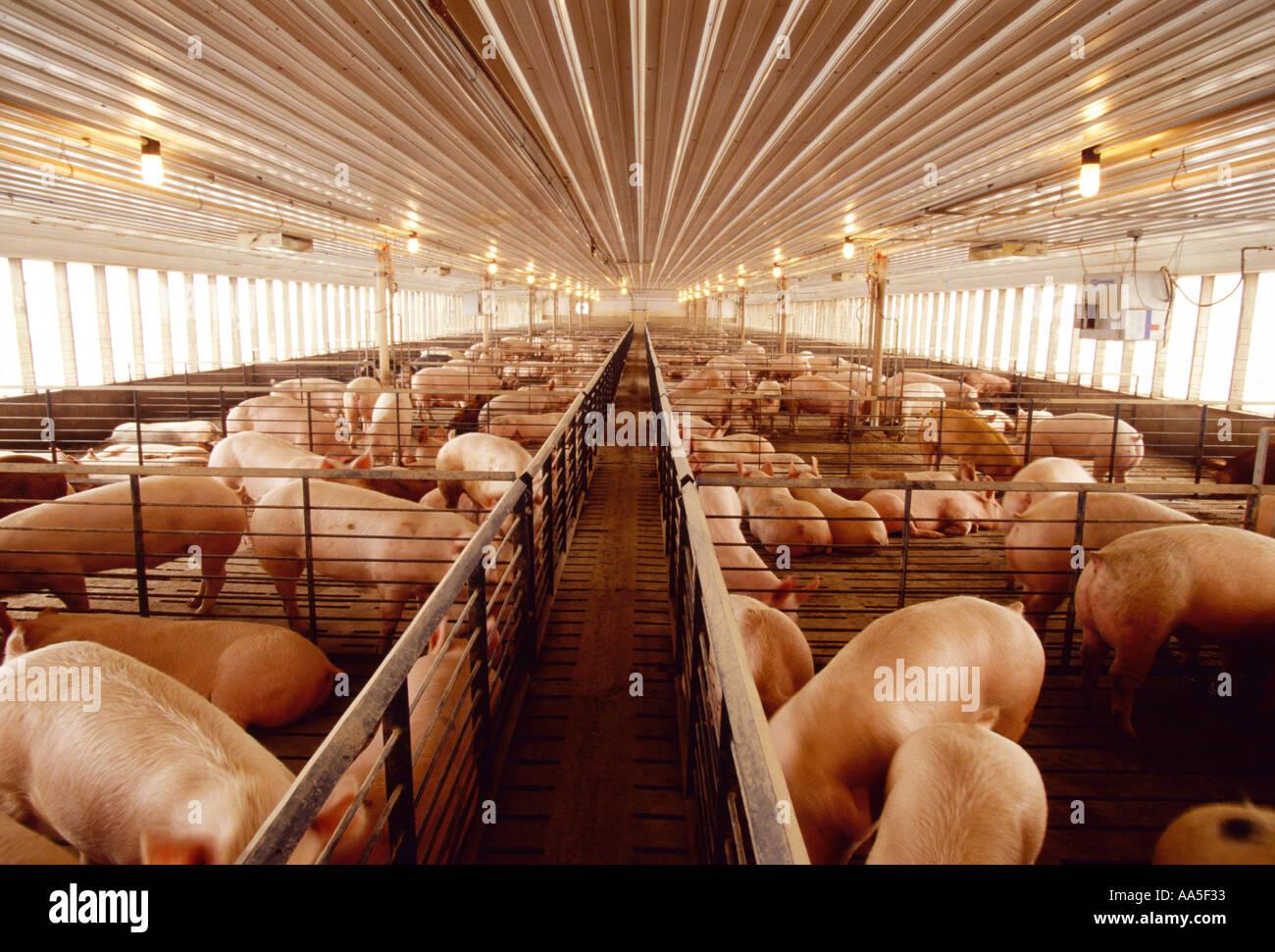 Vieh - Reifen 260lb marktreifen Schweine in einem modernen Schwein Entbindung / Central Iowa, USA. Stockbild