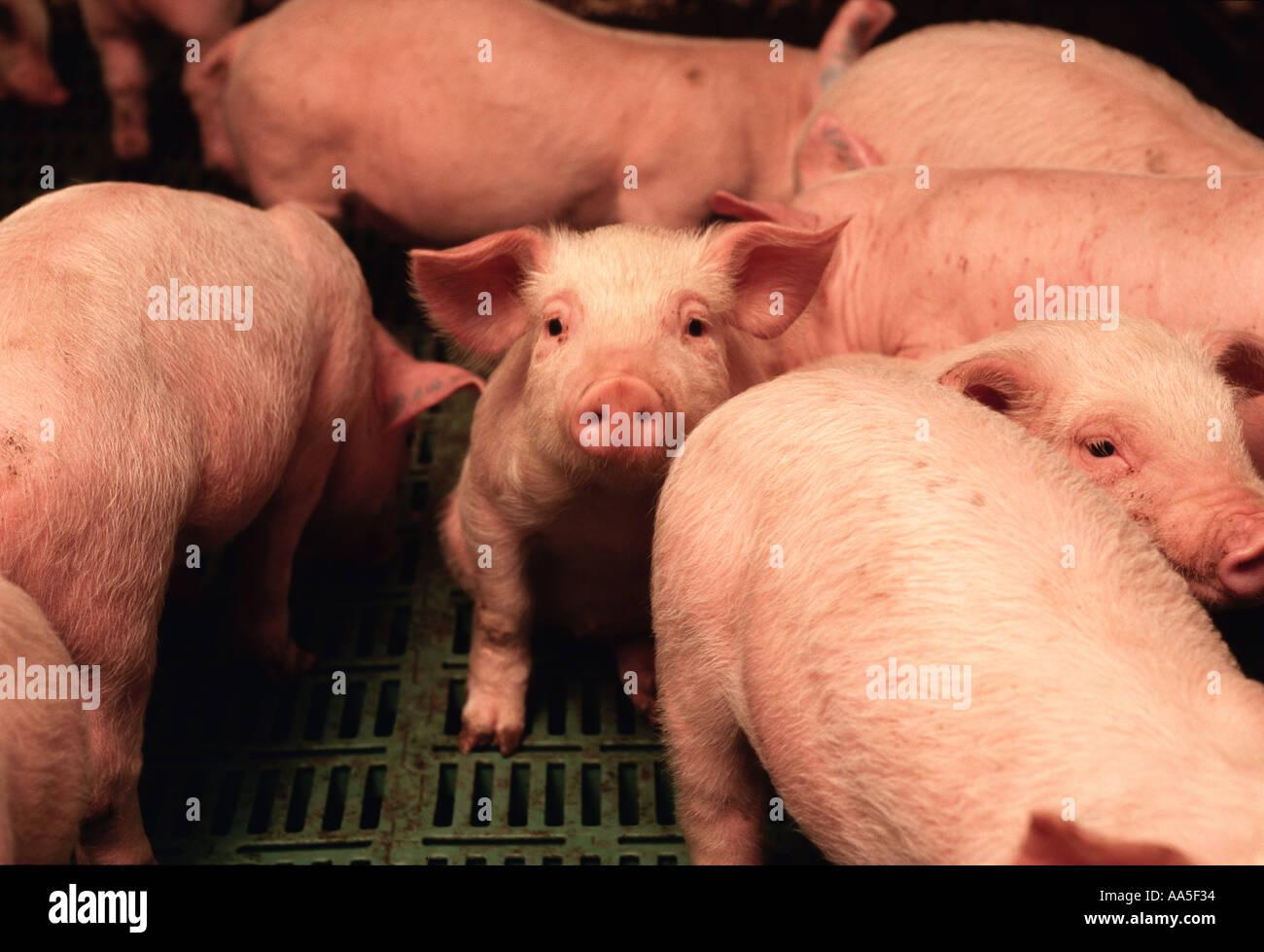 Tiere - Schweine in einem Schwein Entbindung Anlage Kindergarten kurz nach Absetzen / Iowa, USA. Stockbild