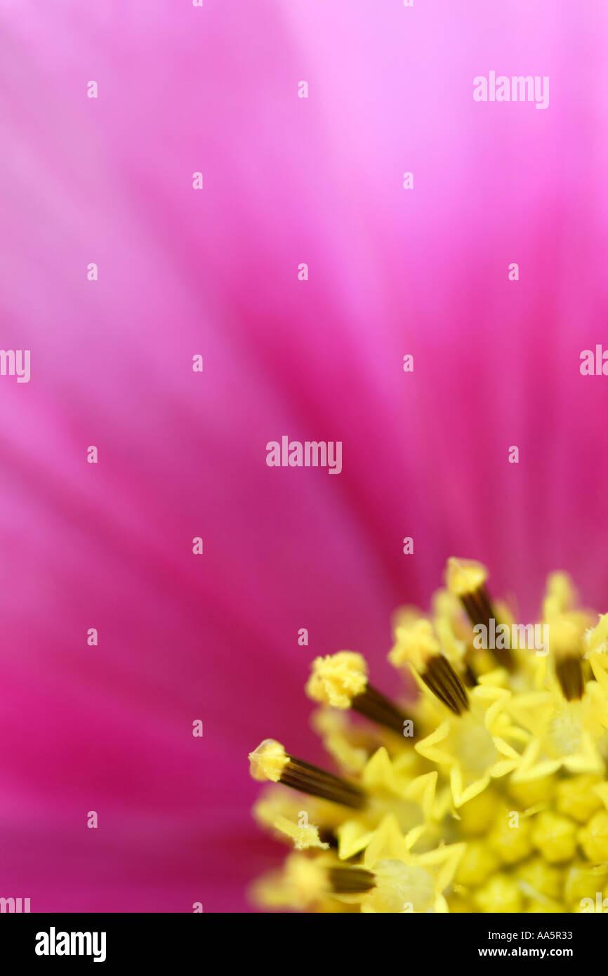 Nahaufnahme von Cosmos Blume Stockbild