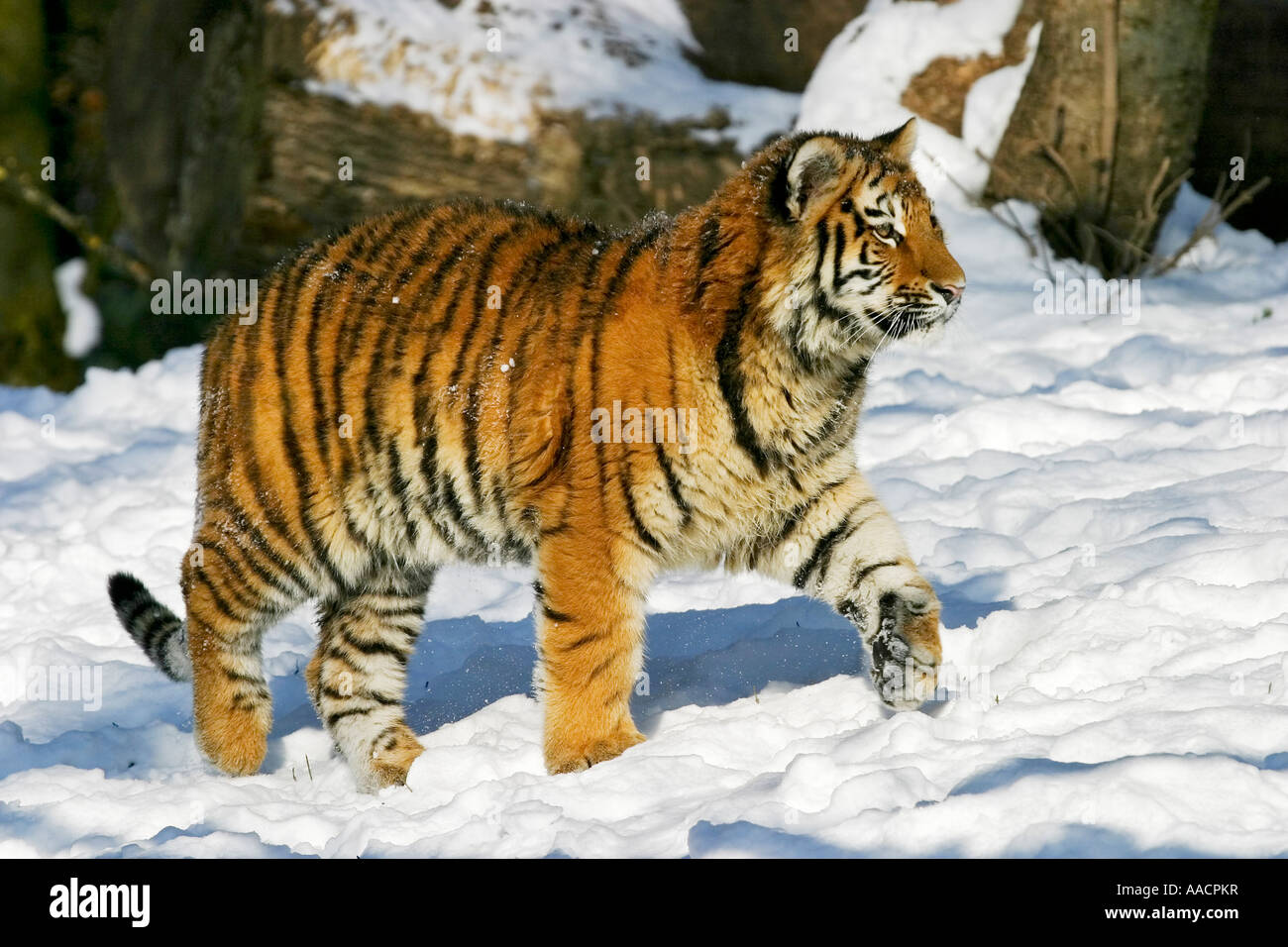 Young sibirischen Tiger (Panthera Tigris Altaica) im Schnee Stockbild