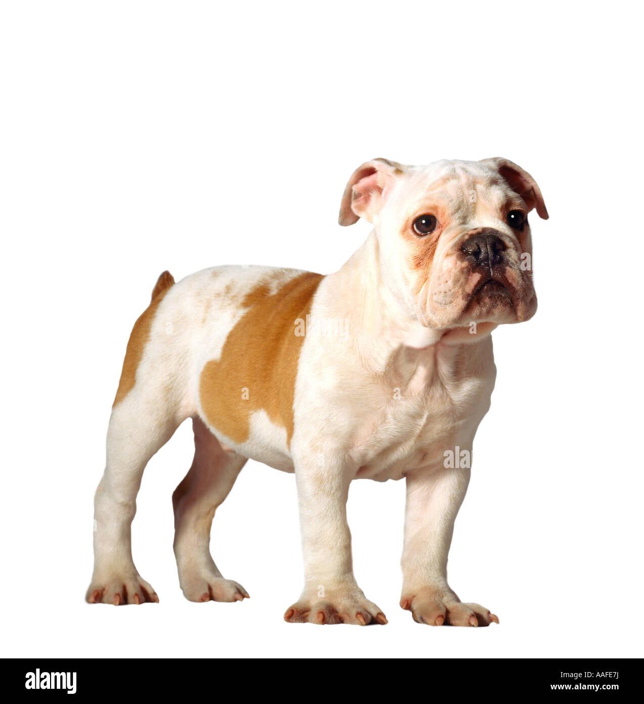 Atemberaubend Englisch Bulldog Färbung Seiten Ideen - Entry Level ...