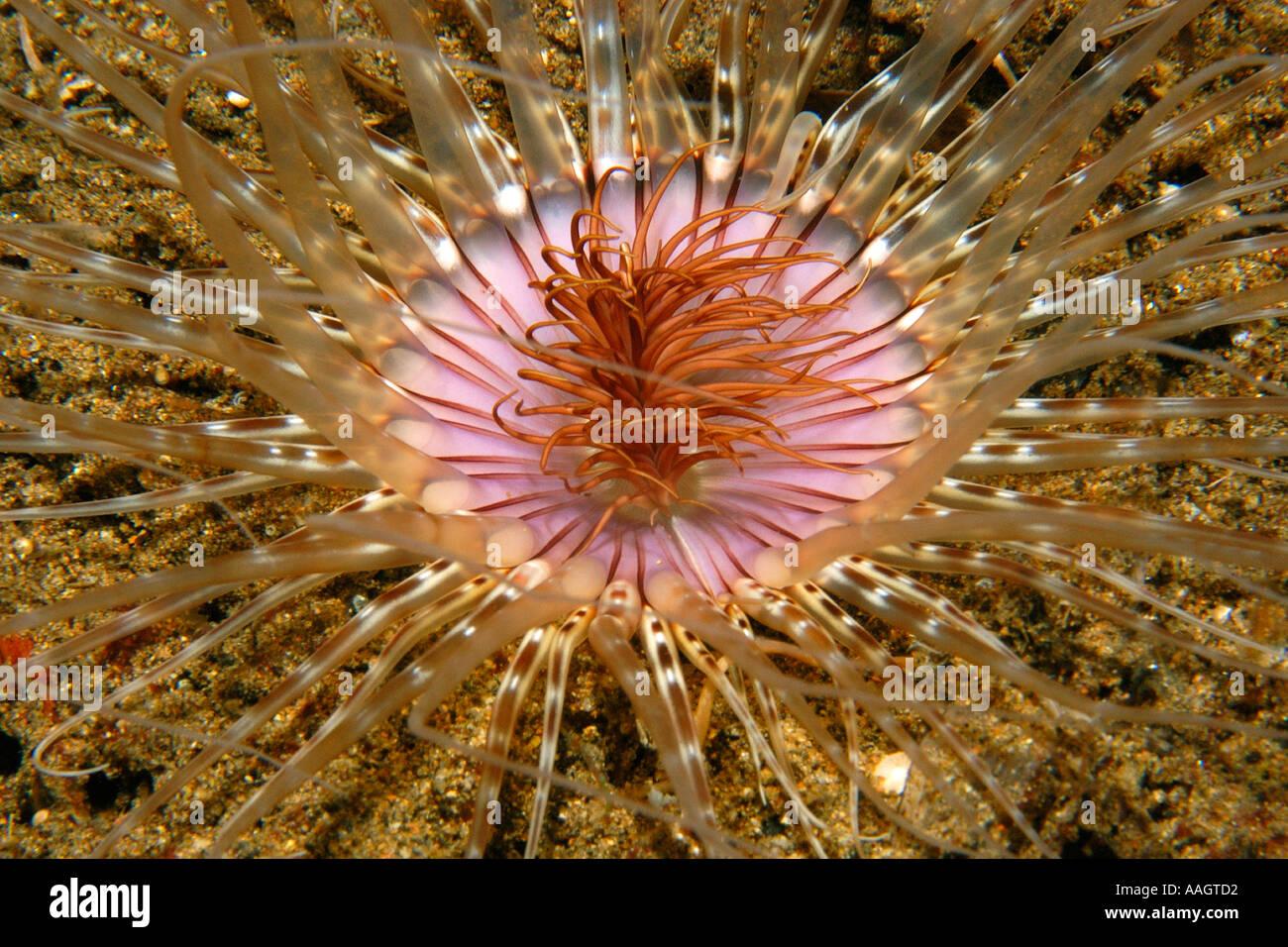 Tube Anemone Cerianthus sp Dumaguete Negros Island Philippinen Stockbild