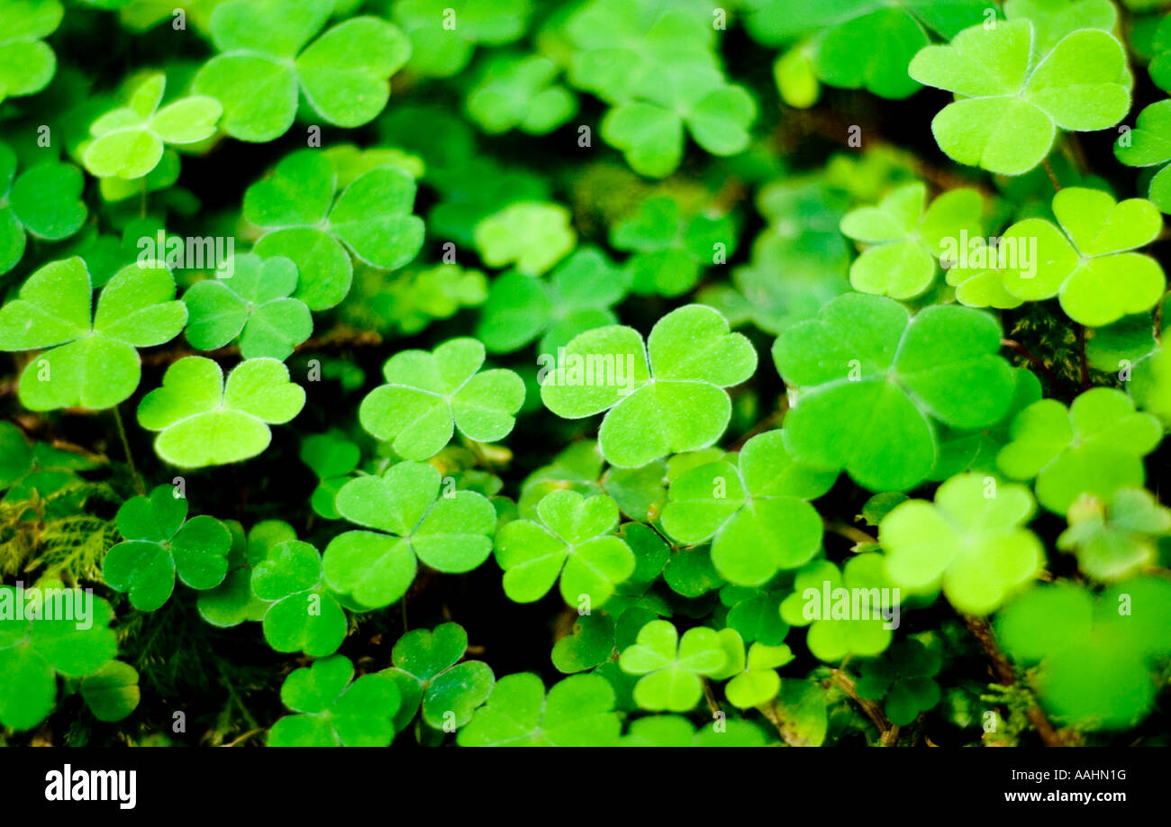 shamrock plant three leaves stockfotos shamrock plant three leaves bilder alamy. Black Bedroom Furniture Sets. Home Design Ideas