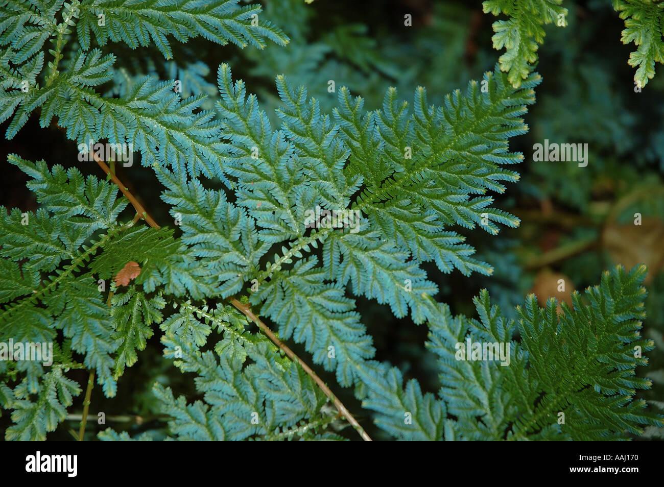 Rainforest selaginella stockfotos rainforest selaginella for Kleine fliegen in den pflanzen