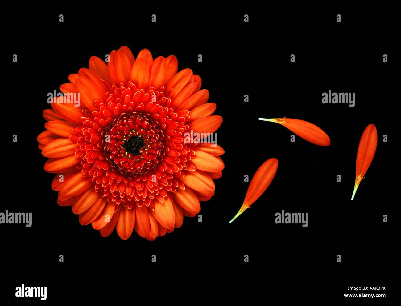 Orange Gerbera Draufsicht Stillleben Stockbild