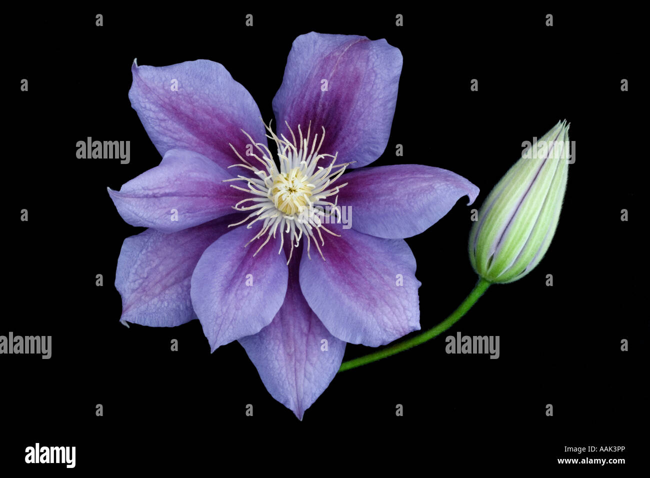 clematis etoile violette stockfoto bild 12648765 alamy. Black Bedroom Furniture Sets. Home Design Ideas