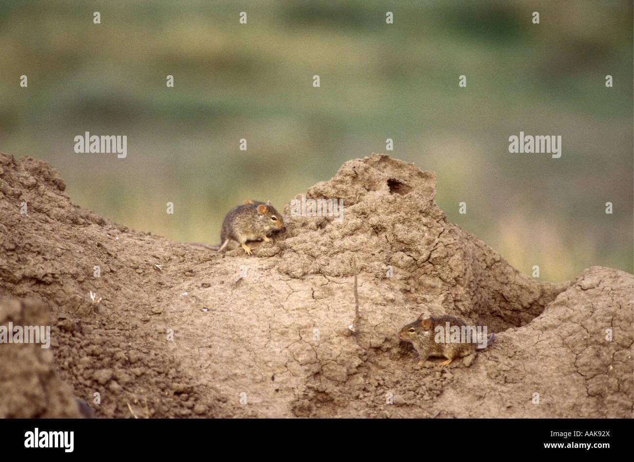 Zwei Ungestreifte Grass Ratten auf eine Termite Hügel Serengeti Nationalpark Tansania Ostafrika Stockbild