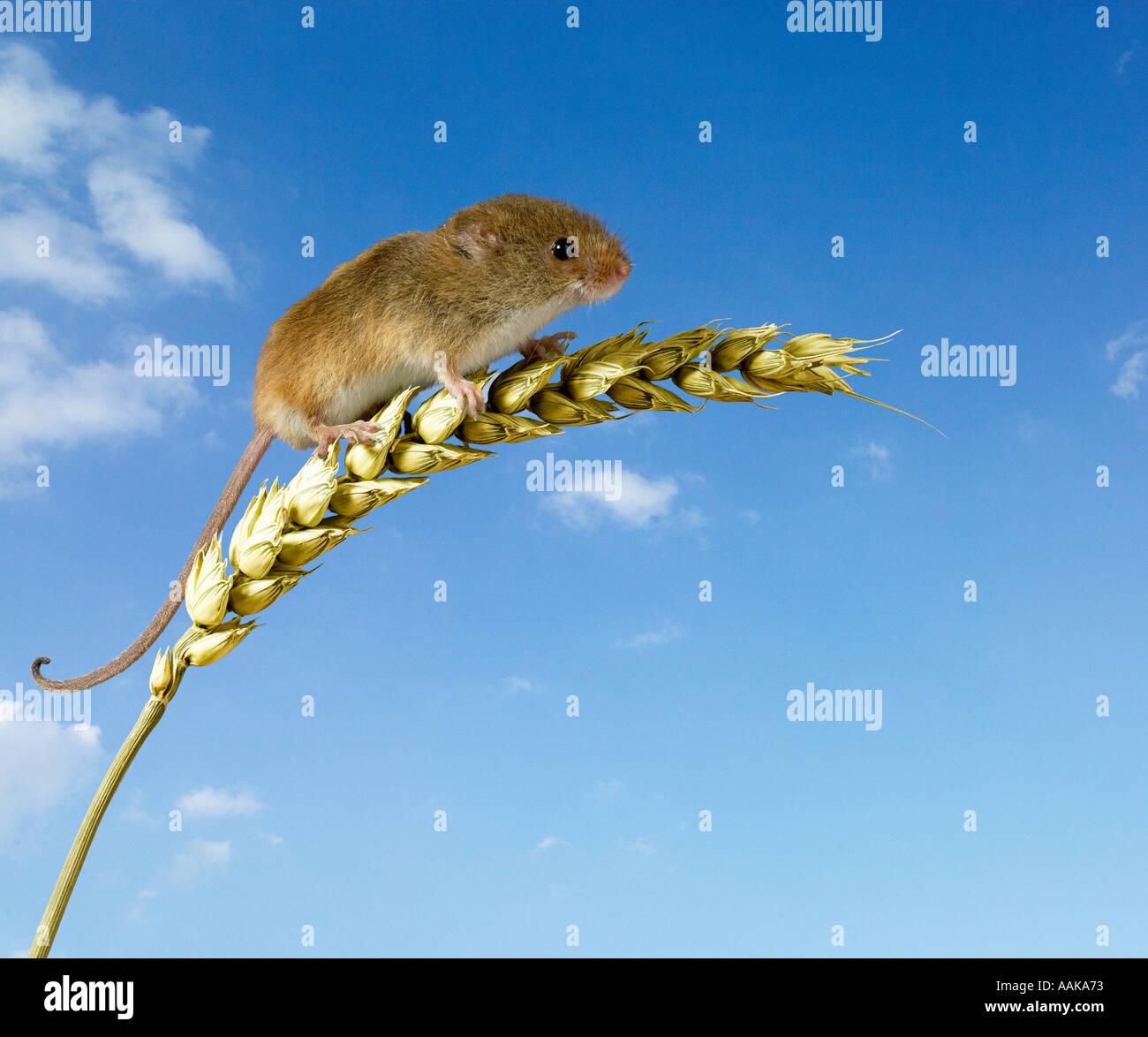 Lese Maus Micromys Minutus auf Maisstiel Stockbild