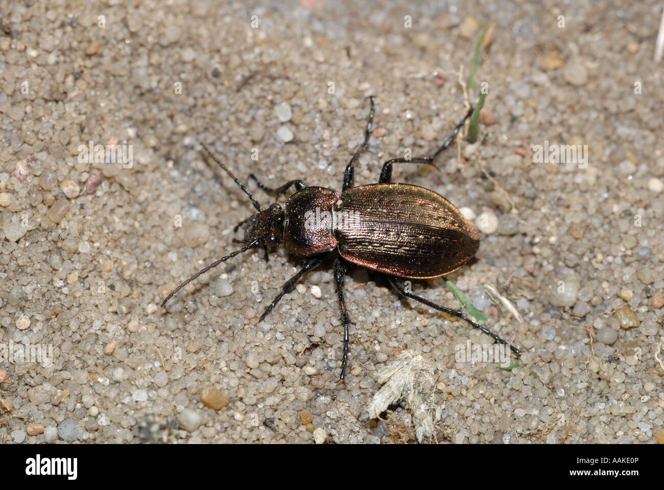 Der Boden Käferarten Carabus Arvensis Stockfoto Bild 12652197 Alamy