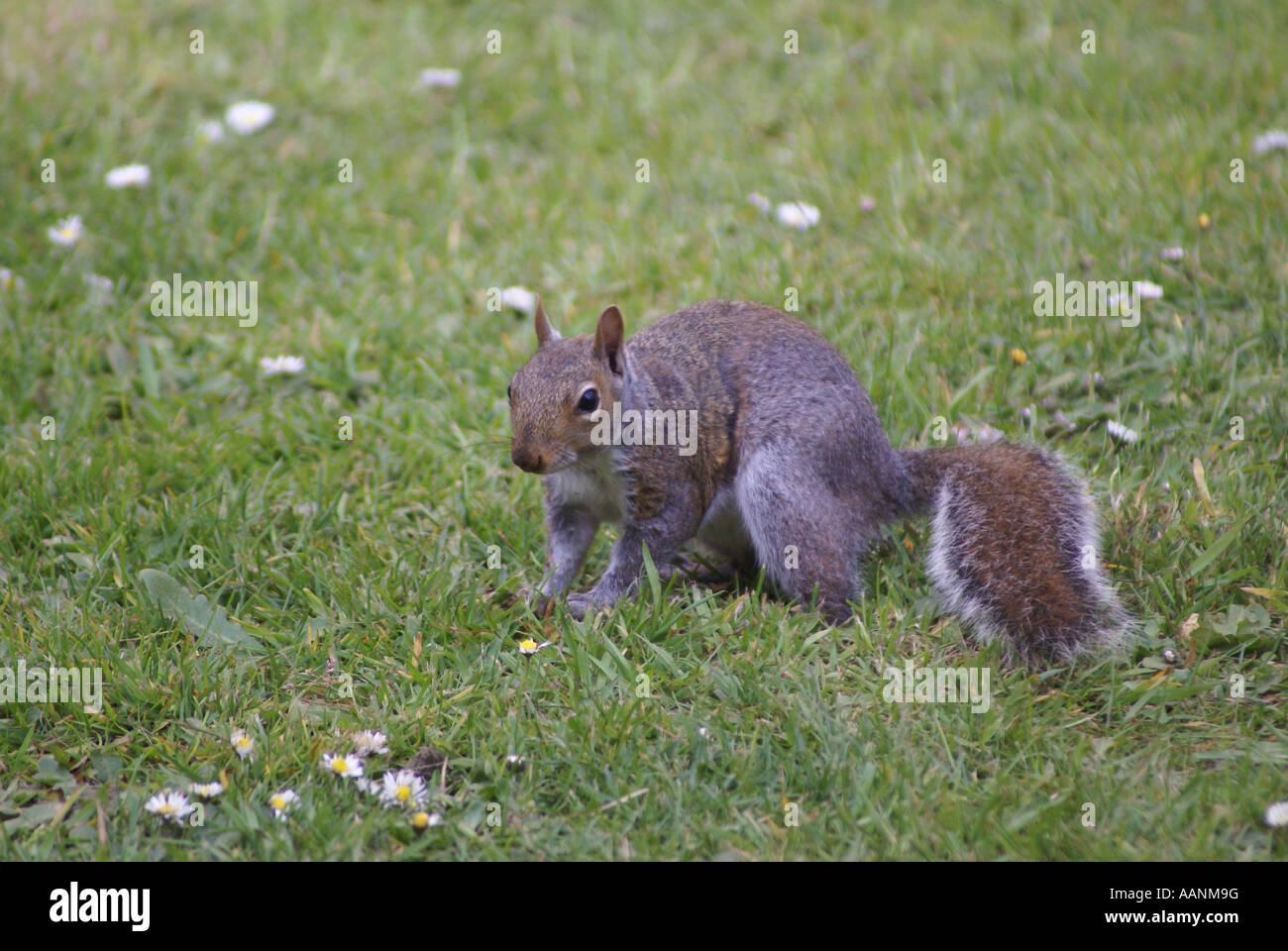Graue Eichhörnchen Stockbild