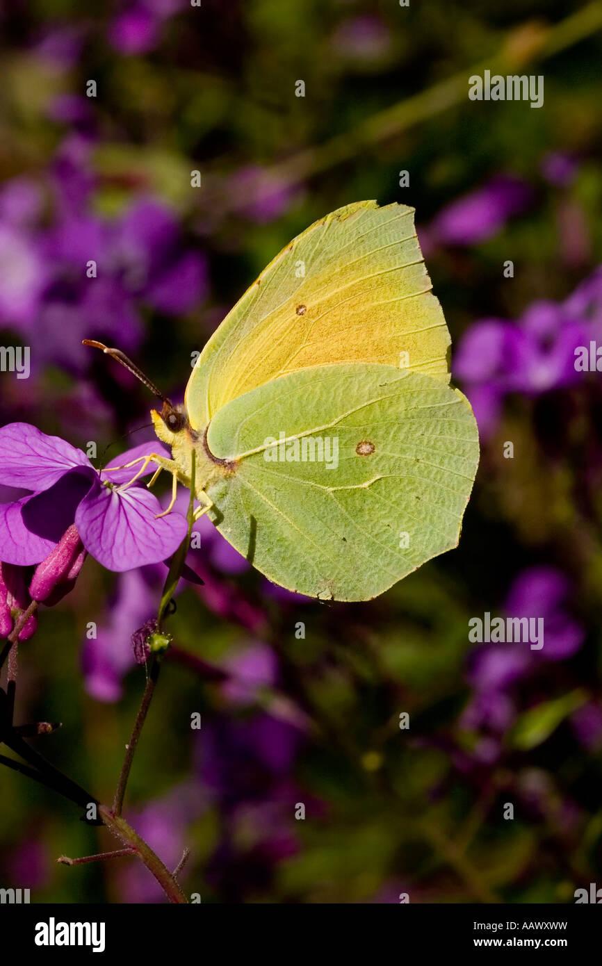 Zitronenfalter Gonepteryx Rhamni auf Blume Schmetterling Stockbild