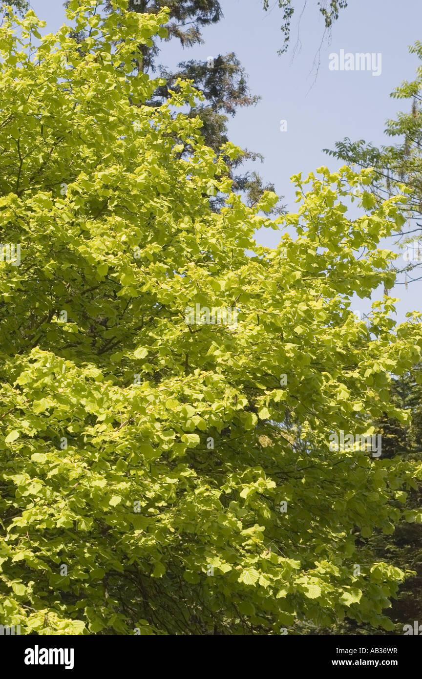 gr n gelb fr hling bl tter der haselnuss baum corylus avellana var aurea stockfoto bild. Black Bedroom Furniture Sets. Home Design Ideas
