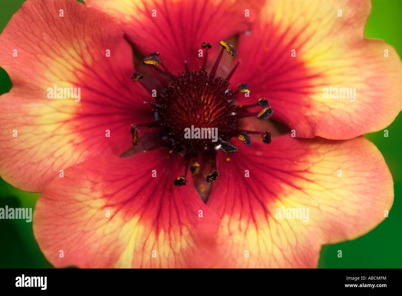Geum Frau Bradshaw Blüte winterharte mehrjährige Makro Nahaufnahme Nahaufnahme Detail Blütenblätter Flowerhead Garten UK England britische Britai Stockfoto