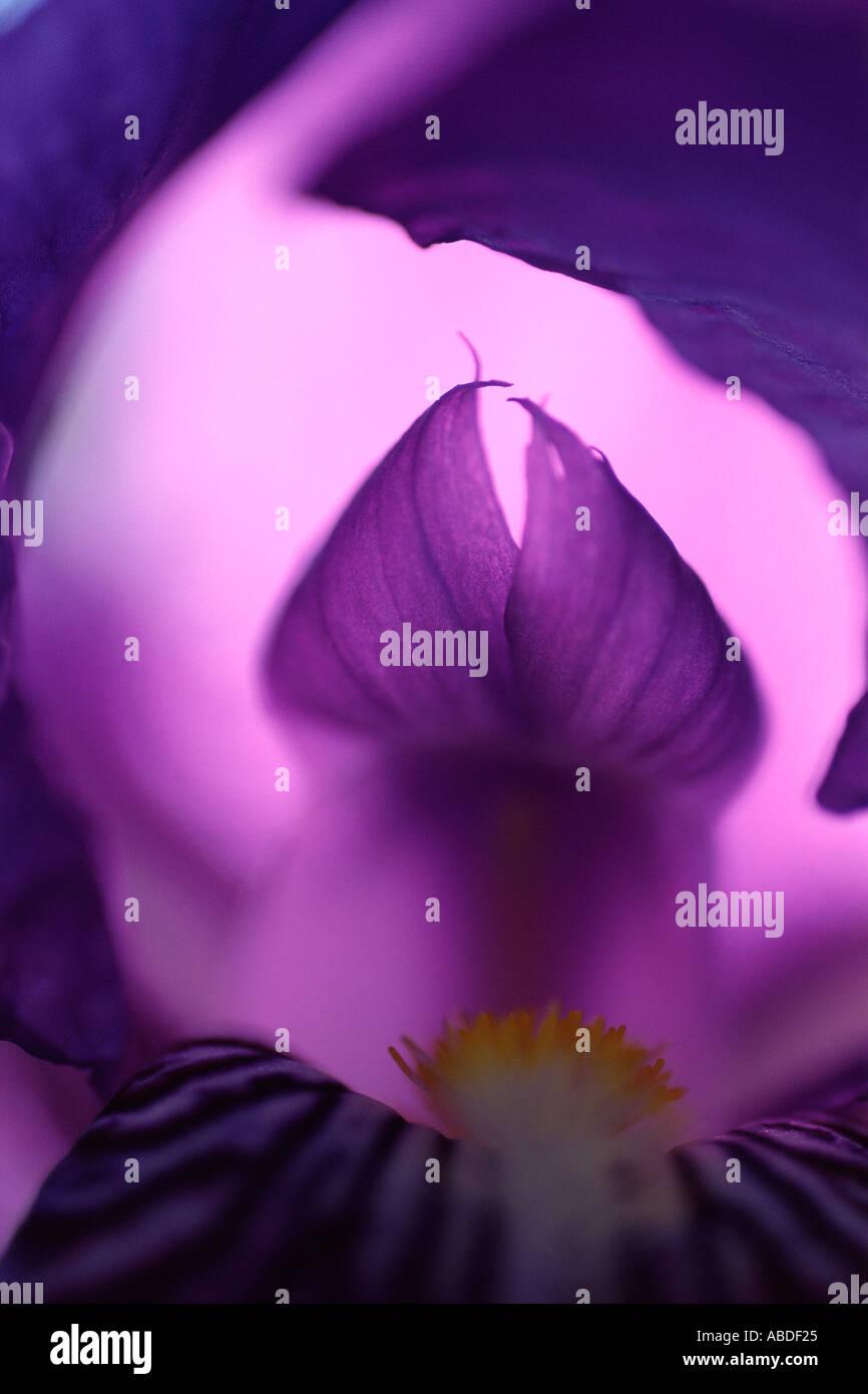 Eine violette iris Stockbild