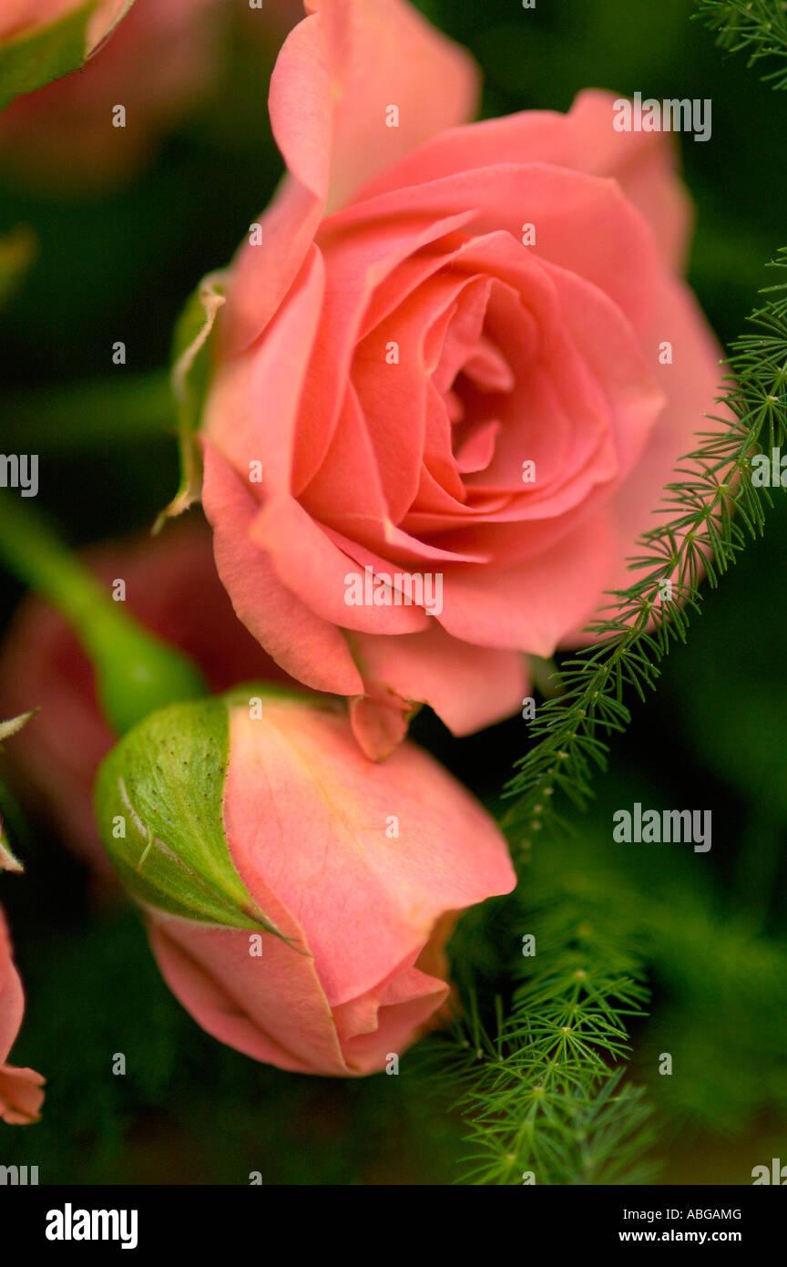 ROSE BLÜTE ROMANTISCHE BLUME DETAIL Stockbild
