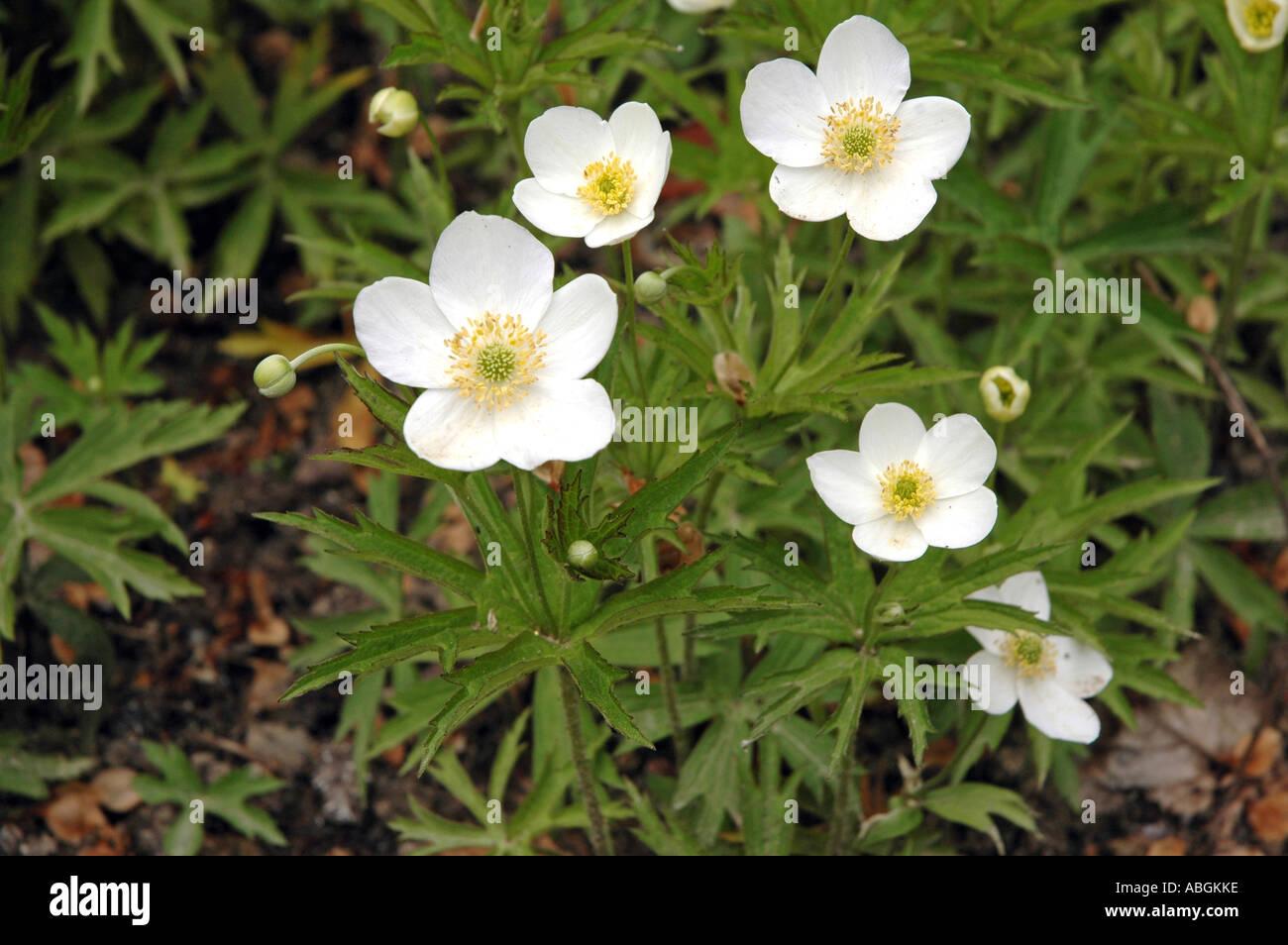 Wiese Anemone Anemone Canadensis auch genannt Windflower oder Mayflower oder kanadischen anemone Stockbild