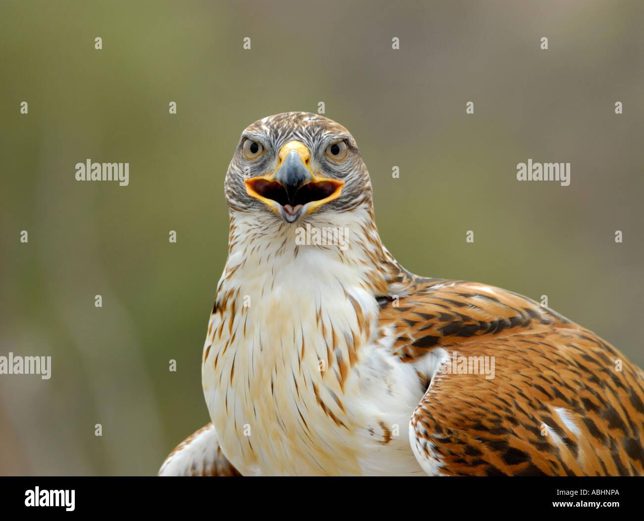 Eisenhaltiger Falke, Buteo Regalis, close-up von Körper und Kopf Blick in die Kamera Stockbild