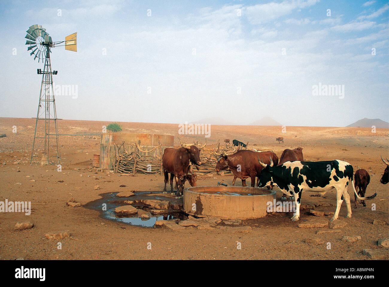 Rinder der Himba Nomadenstamm werden bei einem Wind angetrieben gut Orupembe Kaokoveld Namibia Küstennebel Stockbild