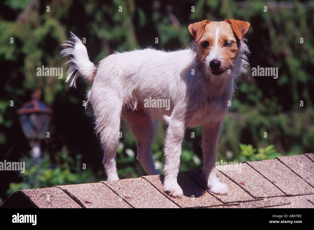 Tolle über Drahthaar Terrier Bilder - Elektrische Schaltplan-Ideen ...