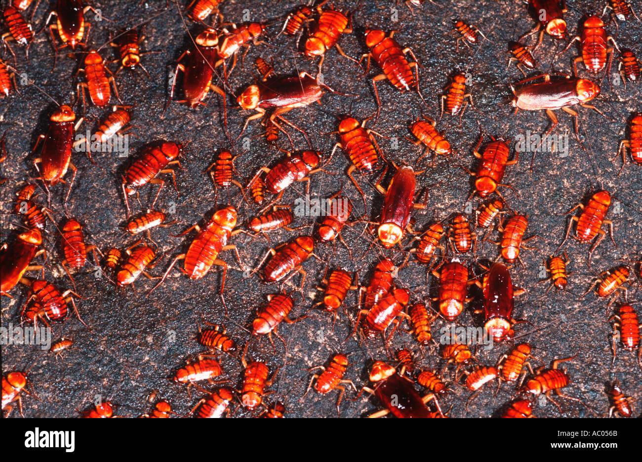 Kakerlake auf Höhle Wand Borneo Stockbild
