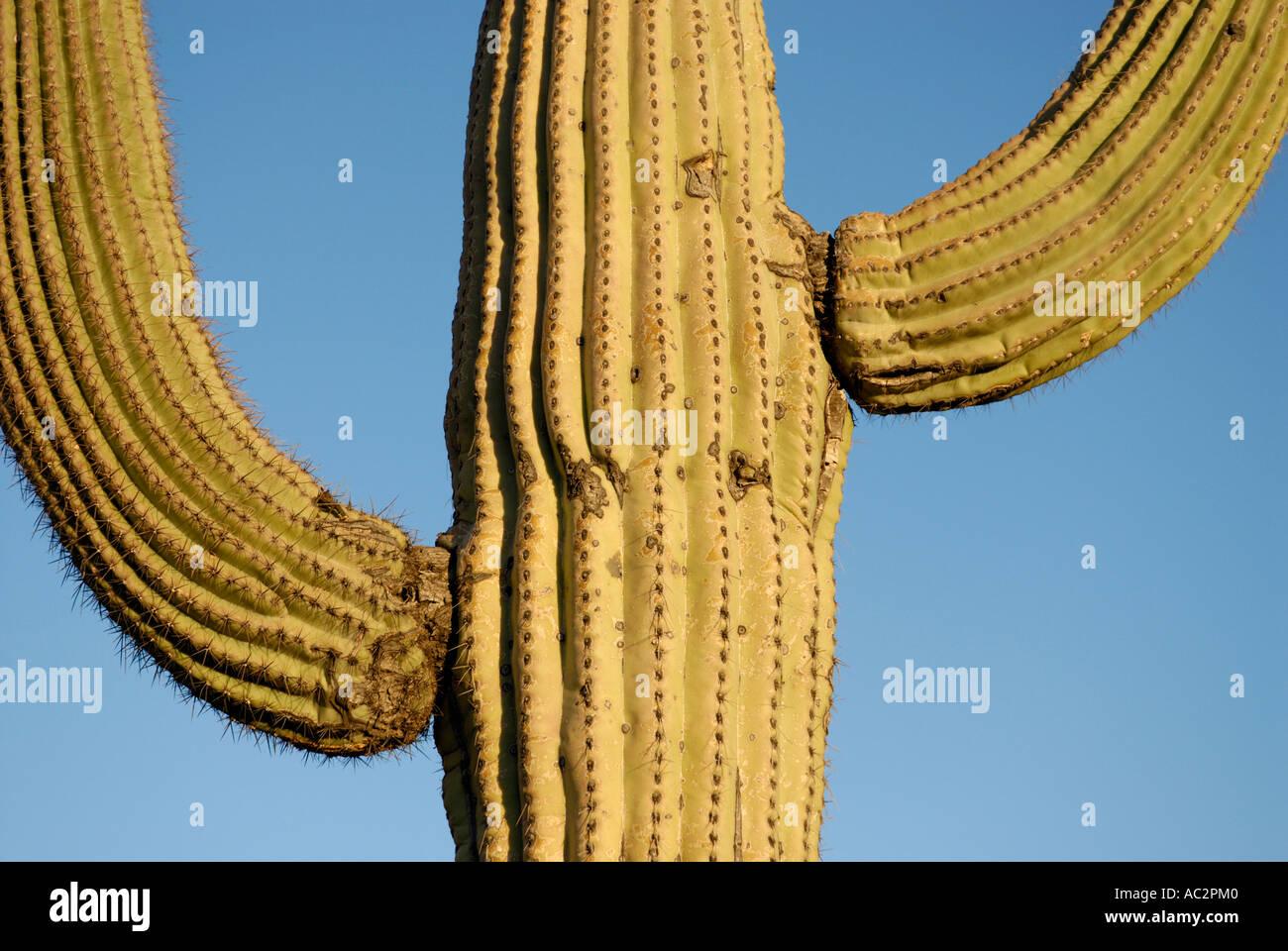Kandelaberkaktus Carnegiea Gigantea, close-up abstrakt mit beiden Armen gegen blauen Himmel, Sonora-Wüste, Südwesten Stockfoto