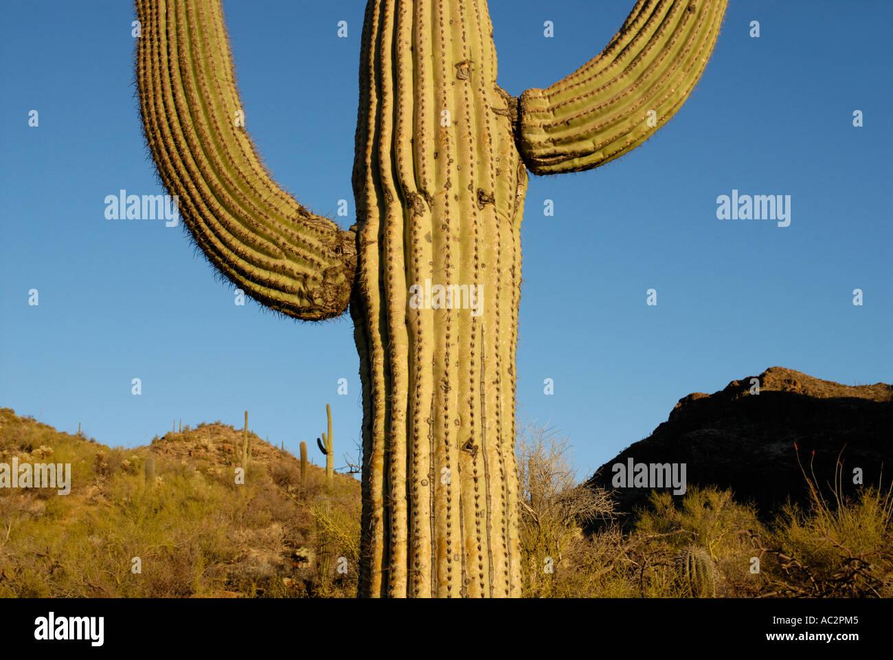 Saguaro Kaktus Carnegiea Gigantea, mit zwei Armen, bergige Wüste Hintergrund, Sonora-Wüste, Südwesten der USA Stockfoto