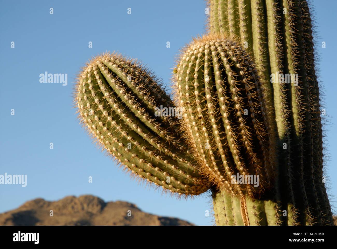 Saguaro Kaktus Carnegiea Gigantea, mit zwei jungen neue Waffen, Gebirgshintergrund, blauer Himmel, Sonora-Wüste, Stockfoto