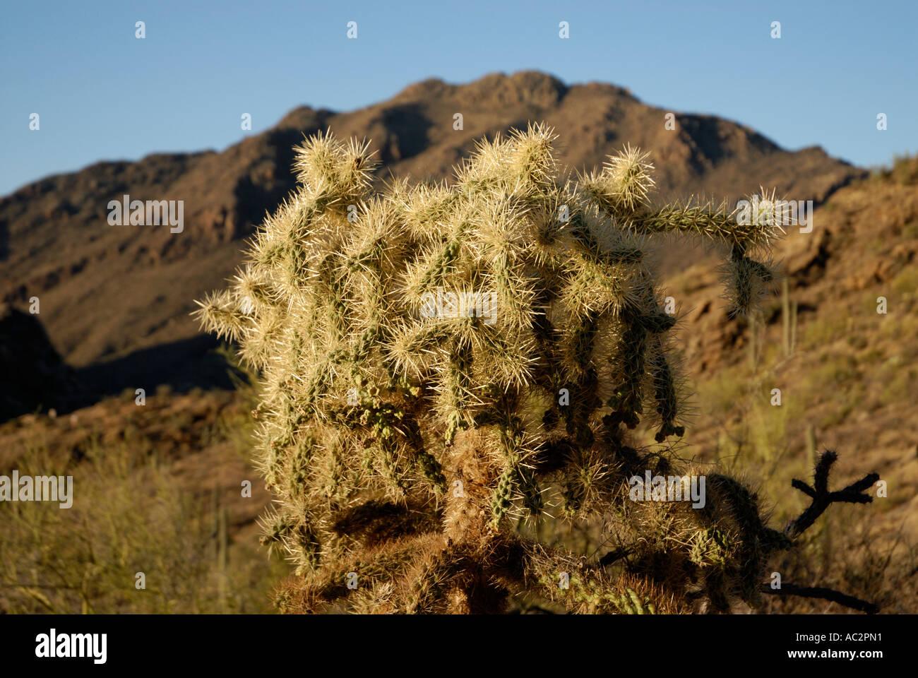Cholla Cactus Opuntia sp, Bergkulisse, Sonora-Wüste, US-amerikanischer südwestlich Stockfoto