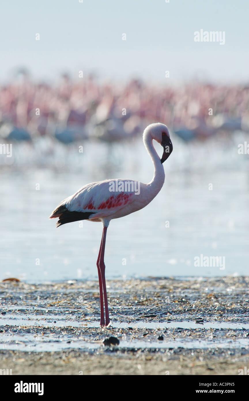 Lesser Flamingo (phoenicoparrus Moll) in der Lake Nakuru, Kenia Stockbild