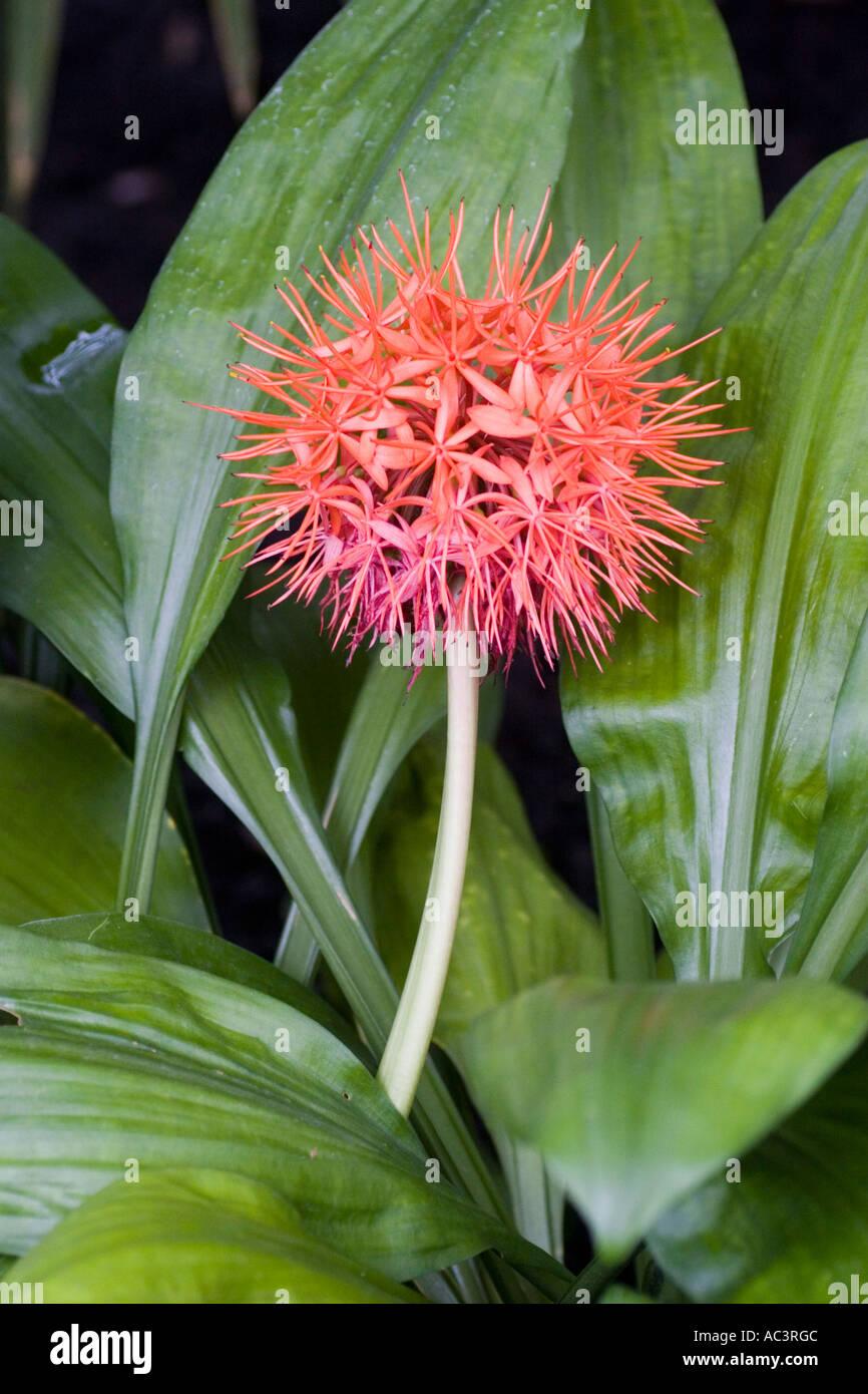 Scadoxus Cinnabarinus Blume Blüte Stockfoto